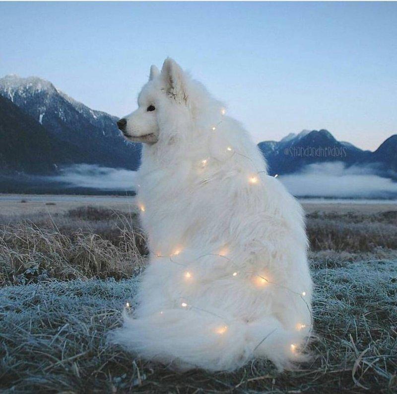 9. Волшебные огоньки  Порода, животные, подборка, позитив, самоед, собака, фото