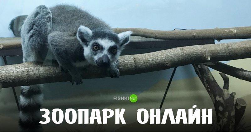 Знакомьтесь, Юми и Фанни – новые обитатели Фишек животные, зоопарк, зоопарк онлайн, лемур, новинка, пенза