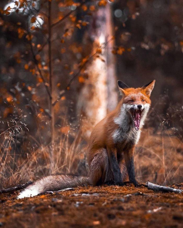 Лисицы из Финляндии: лесная сказка животные, лисы, необычно, портреты животных, удивительные создания, финляндия, фото, фотопроект