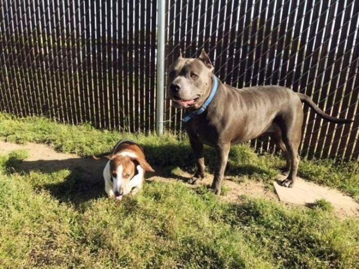 Слепого пса нашли в 160 км от дома  воссоединение, дружба, животные, питбуль, приют, собака, такса