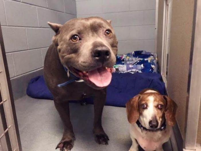 Несколько часов работники приюта убеждали ее не разлучать собак воссоединение, дружба, животные, питбуль, приют, собака, такса