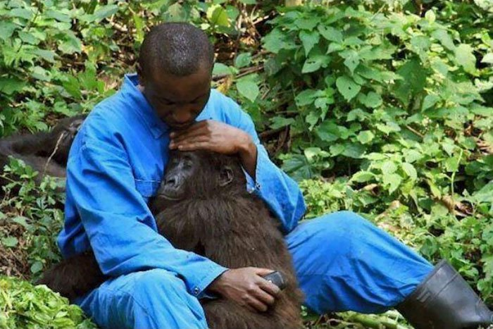 9. Конго. Сотрудник парка успокаивает гориллу, которая боится звуков бомб, пролетающих над Национальным парком Вирунга. Добрые дела, добро, истории, люди, подборка, позитив, трогательно, фото