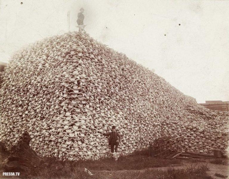 Как американцы бизонов уничтожали бизоны, индейцы, сша