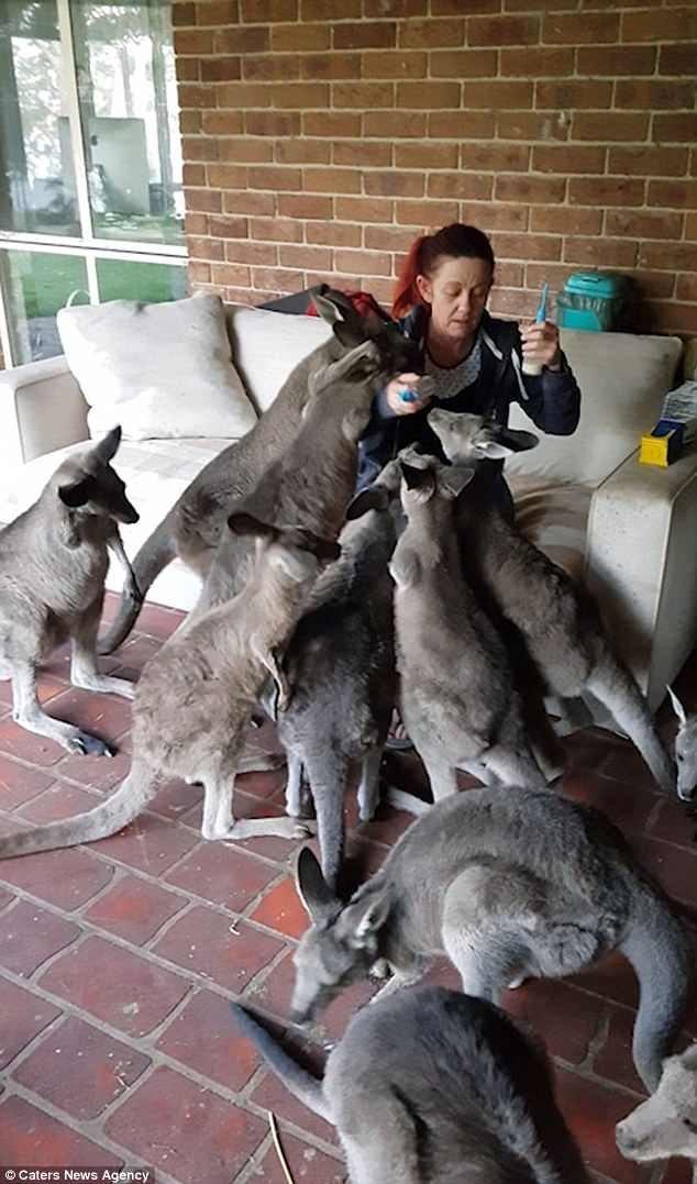10 кенгурят окружили Лору Харви, владелицу заповедника, пока она пыталась спрятать от них пустую бутылку из-под молока. Малыши требуют еды! видео, животные, заповедник, кенгуру, кенгурята, мило, позитив, фото