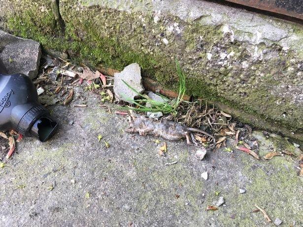 Британский город атаковали полчища огромных крыс Danielle Carter, Kingston upon Hull, ynews, британия, крысы