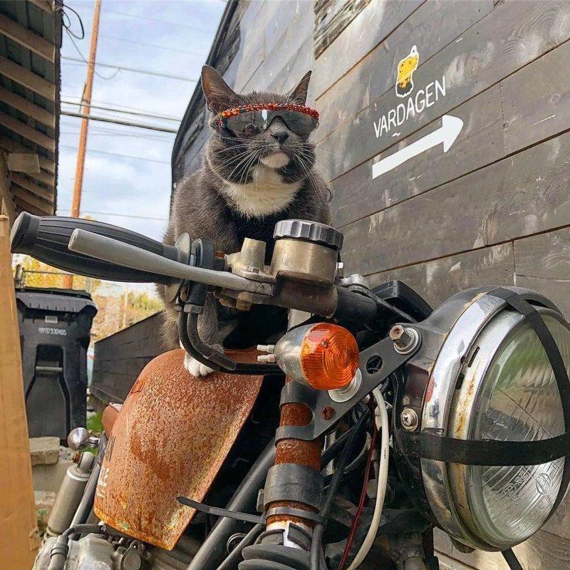 У этой кошки в солнечных очках редкое заболевание, но она слишком крута, чтобы замечать такие мелочи в мире, глаза, животные, кот, кошка, милота, очки