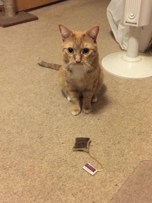 """4. """"Некоторые кошки приносят своим хозяевам птиц и мышей. Оливер приносит мне чайные пакетики"""" Забавные коты, домашние животные, кот, коты, кошка, кошки, смешные  кошки, юмор"""