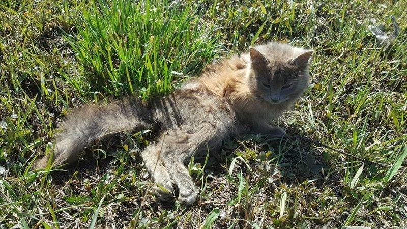Она ползла к людям на животе... о том, как выздоравливают безнадёжные животные история, кошки, спасение