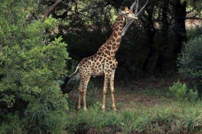 Цена крупного плана: в ЮАР жираф убил кинорежиссера ynews, африка, дикая природа, жираф, несчастный случай, режиссёр