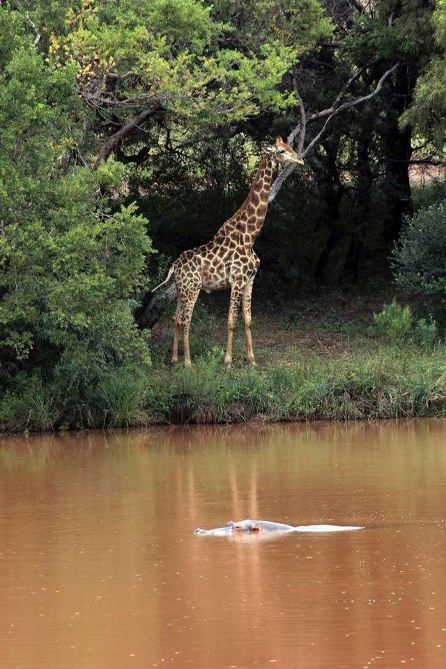 Джеральд казался любознательным и добродушным ynews, африка, дикая природа, жираф, несчастный случай, режиссёр