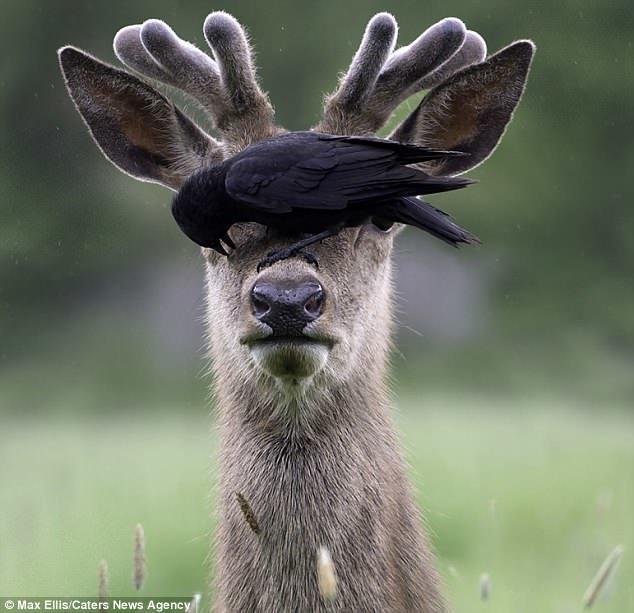 Олень и галка: взаимовыгодное сотрудничество взаимовыручка, выгода, галка, дикая природа, животный мир, олень, сотрудничество, удивительные животные