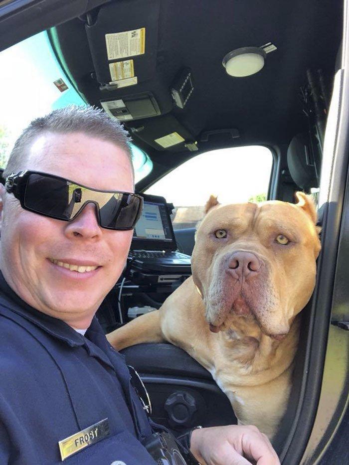 """Техасский полицейский Трэвис Фрост приехал по вызову насчет """"опасной собаки на улице без хозяина"""" и увидел большого американского булли булли, злая собака, люди и собаки, мир не без добрых людей, осторожно, питбуль, потерялся, собаки"""