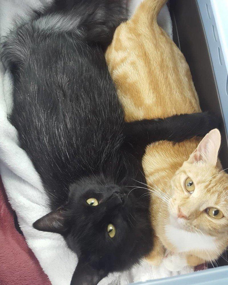 Счастливая история трех дружных приютских котов, которых взяли всех сразу в одну семью история, кошки, спасение