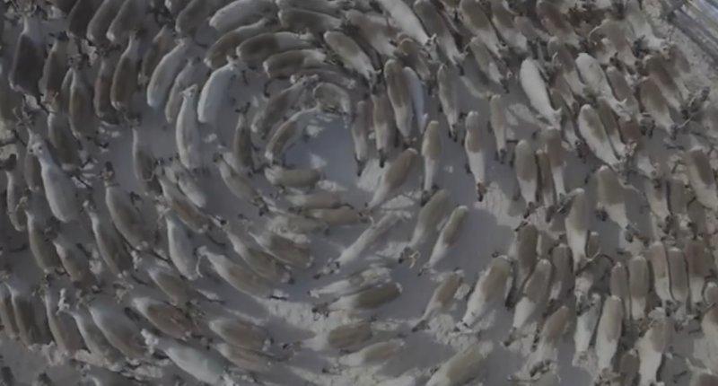 Круговорот оленей на Кольском полуострове: завораживающее видео Кольский полуостров, арктика, инстинкты, олени, поведение, хоровод