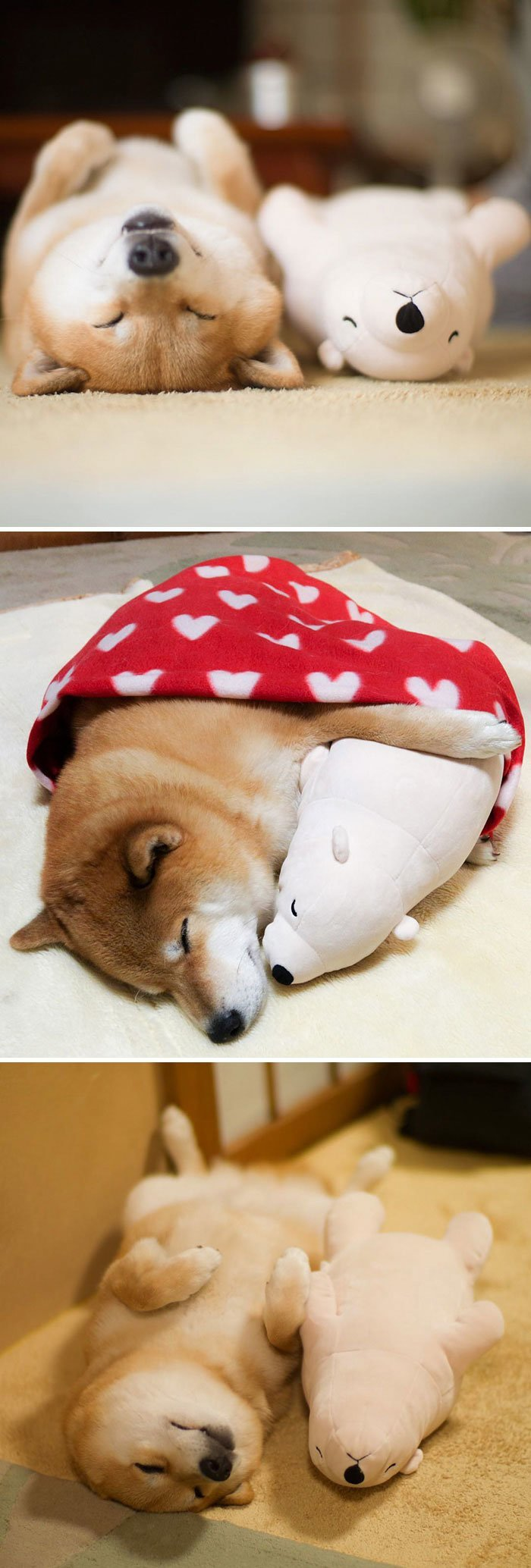 Этот шиба-ину любит спать со своей игрушкой домашние животные, животные, мило, очаровательно, собаки, трогательно, шиба ину, щенки