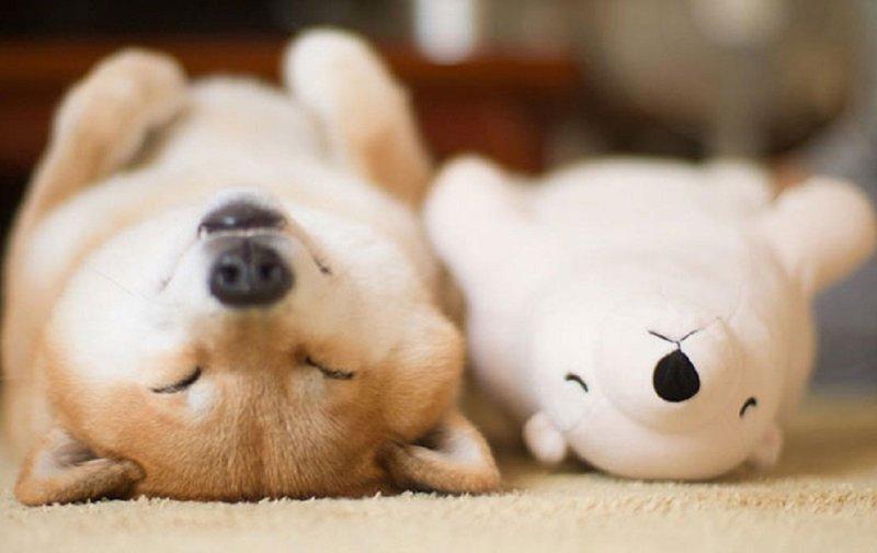 Шиба-ину - собаки, которые растопят ваше сердце домашние животные, животные, мило, очаровательно, собаки, трогательно, шиба ину, щенки