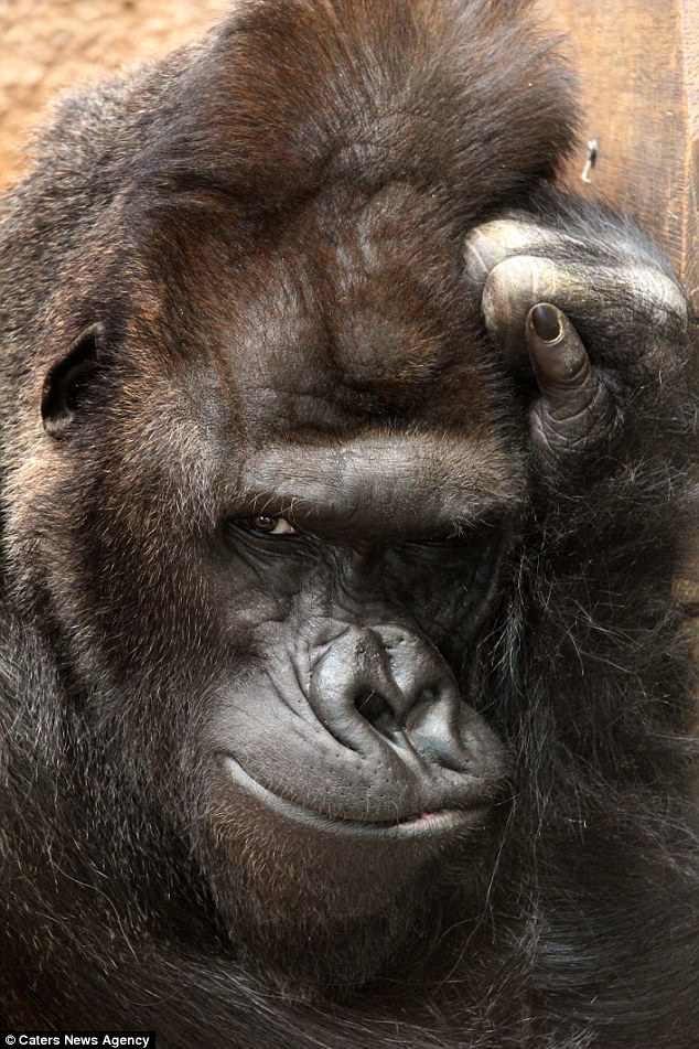 Горилла по кличке Ричард живет в чешском зоопарке с 2003 года горилла, животные, забавно, звери, зоопарк, обезьяны, природа, фотогеничность