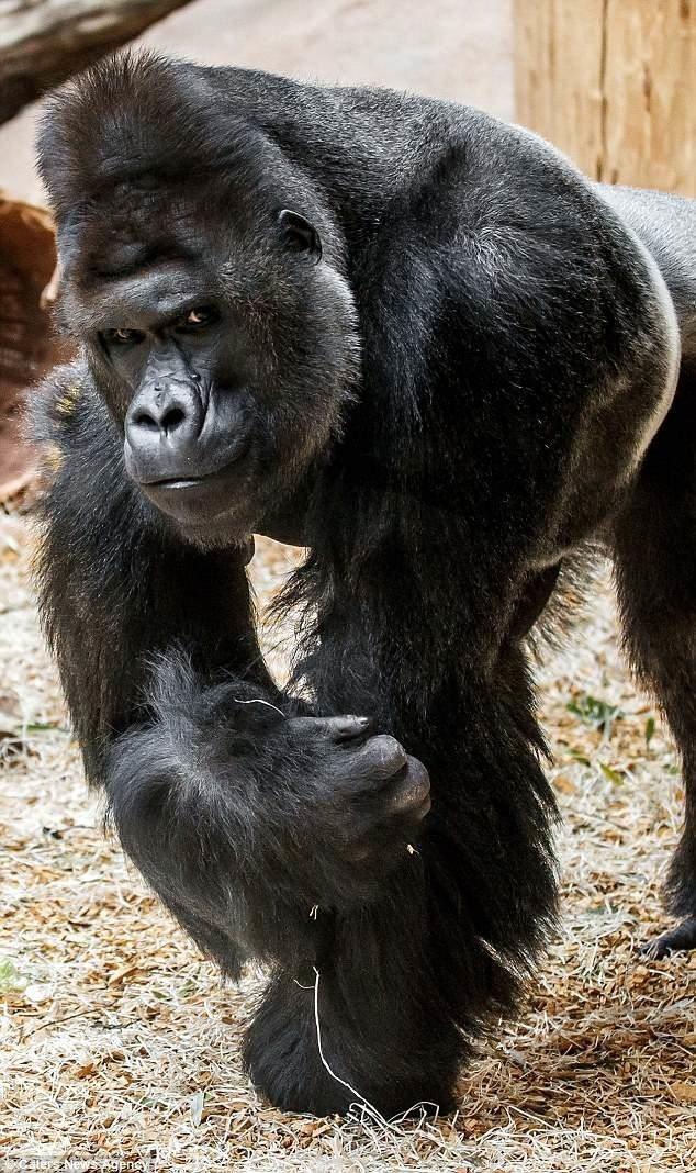 Благодаря своей фотогеничности он стал местной знаменитостью. Ричард всегда привлекает внимание посетителей, и обожает позировать перед камерами! горилла, животные, забавно, звери, зоопарк, обезьяны, природа, фотогеничность