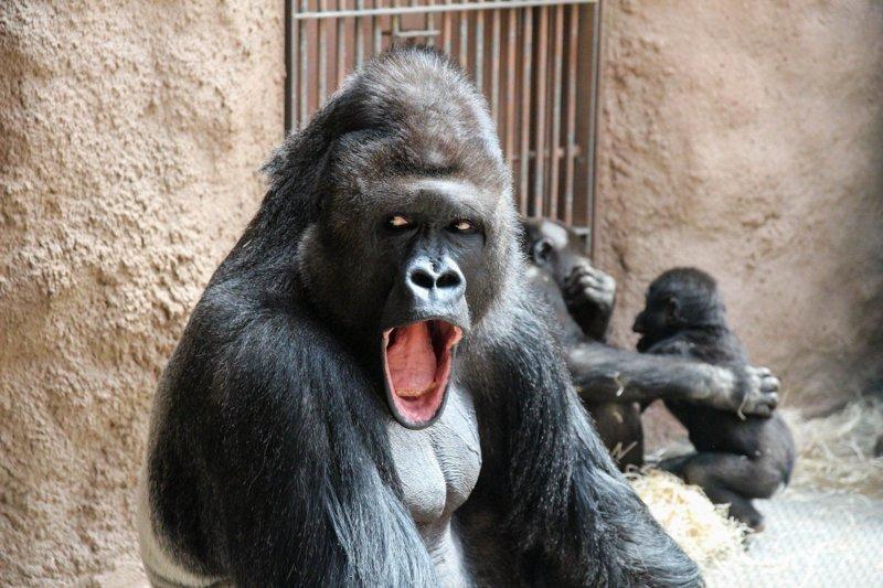 Чешский фотограф Люси Степницкова уже 11 лет фотографирует животных этого зоопарка в Праге, в том числе - Ричарда и его семью. горилла, животные, забавно, звери, зоопарк, обезьяны, природа, фотогеничность