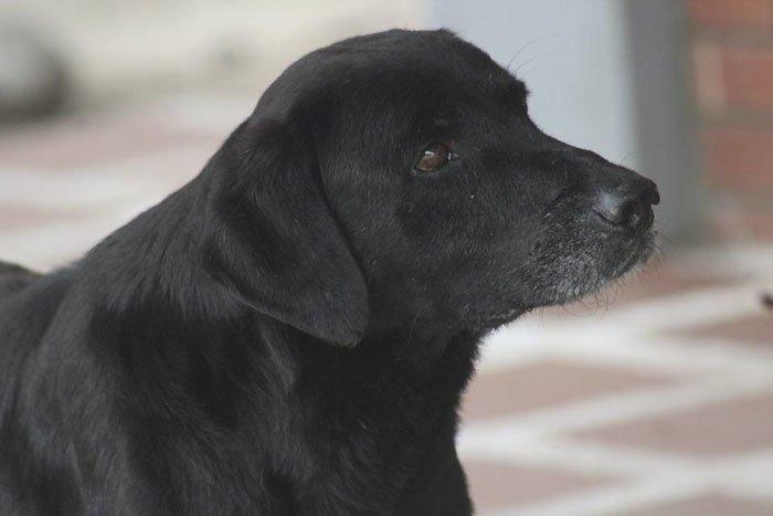 Чёрный пёс по кличке Негро живёт на территории студенческого кампуса Колумбийского технического института в Монтеррее. Его приютил персонал, и пёс спокойно разгуливает по всей территории. гениально, животные, забавно, забавные животные, истории, прикол, собака, собаки