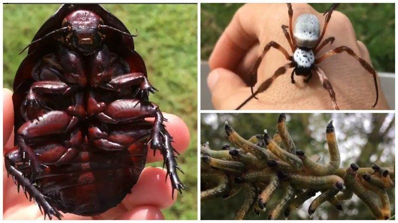 """Австралийский энтомолог пугает весь мир своими """"любимцами"""" видео, интересное, насекомые, природа, сикарашки, энтомолог"""