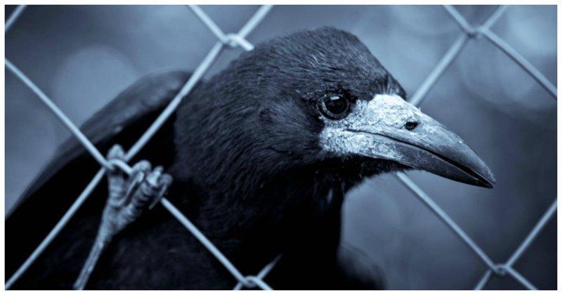 За поимку умной вороны японку ждет тюрьма Кинситё, ворона, токио, япония