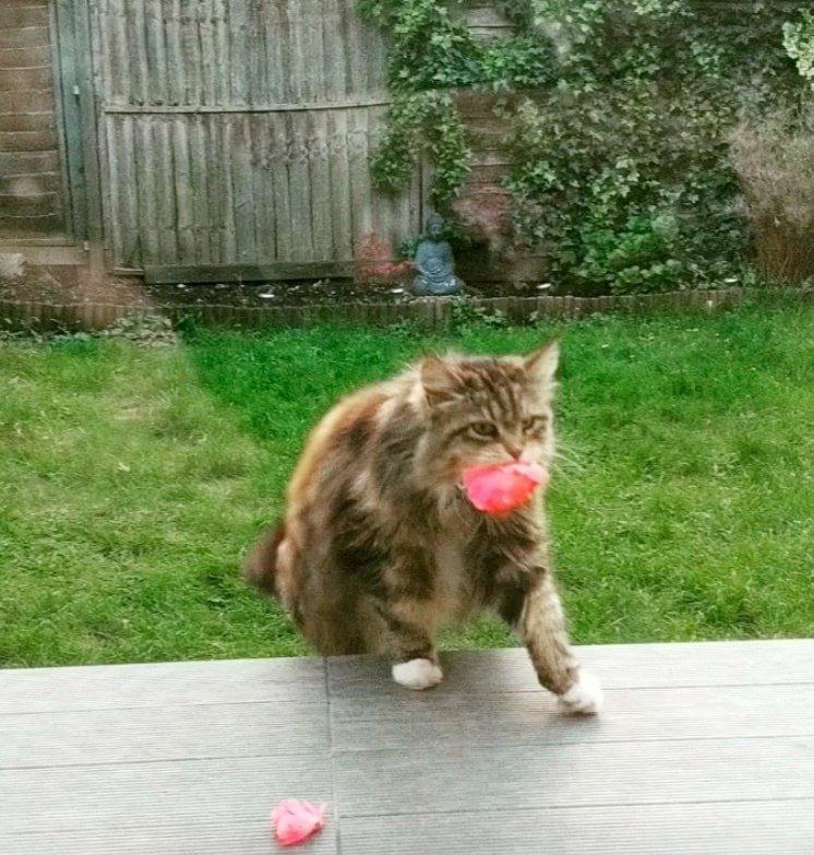 «Тайным поклонником» оказалась соседская кошка по имени Уиллоу в мире, история, люди, поклонник, цветы