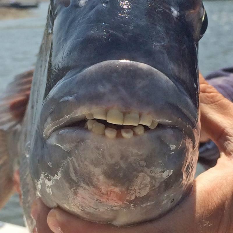 Рыбу с человеческими зубами поймали у побережья США. Но что же это такое? в мире, зубы, природа, рыба