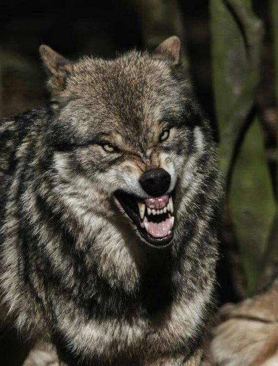 А также собачьи и их родственники животные, звери, зубы, интересное, красота, оскал, природа