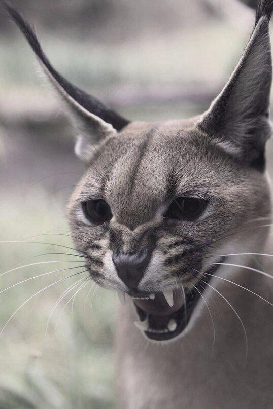 Ну и конечно - оскал кошачьих - страх и мимимишность в одном флаконе животные, звери, зубы, интересное, красота, оскал, природа