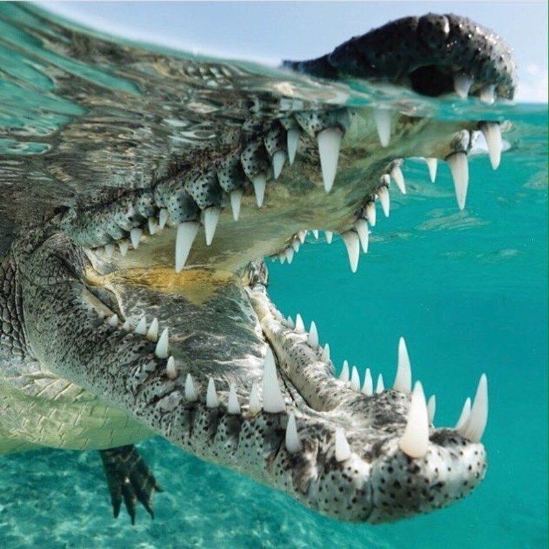 Пасть крокодила - это нечто животные, звери, зубы, интересное, красота, оскал, природа