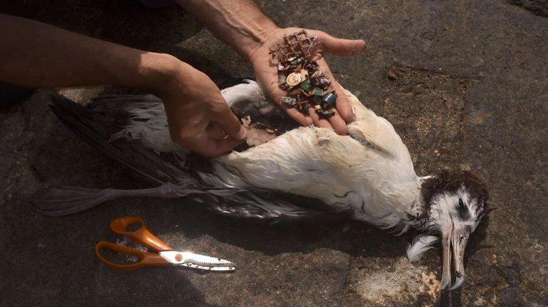 Душераздирающие снимки мертвых морских птиц с желудками, набитыми океанским пластиком загрязнение, земля, окрущающая среда, пластик, природа, птицы