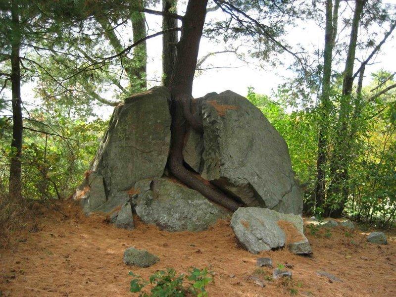 7. Дерево, проросшее в трещинке камня, сумело его сломать деревья-захватчики, интересно, природа, природа берет верх, фото