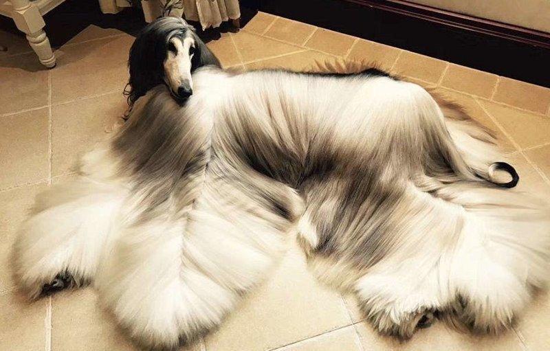 Китаец тратит $800 в месяц на уход за шерстью своей собаки афганская борзая, домашние любимцы, животные, красиво жить не запретишь, сладкая жизнь, собаки, собачья парикмахерская, удивительное рядом