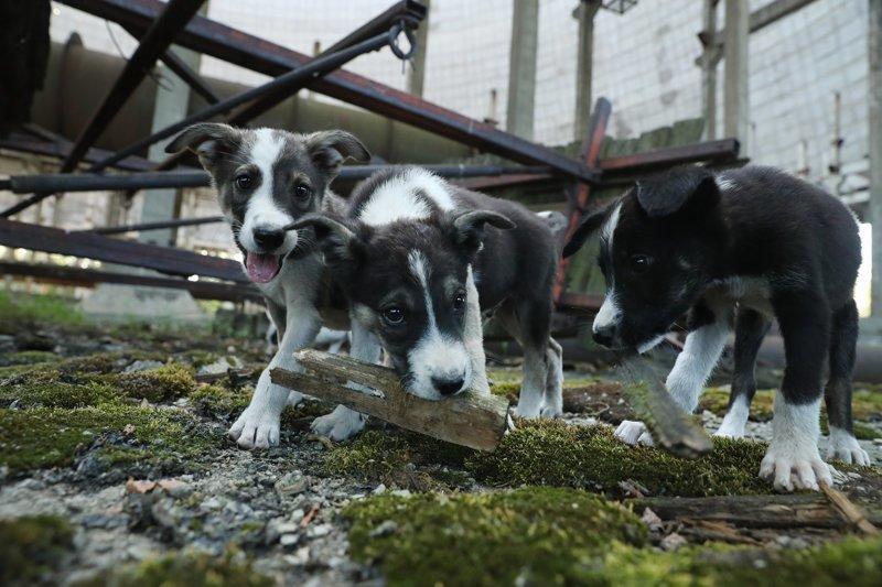 Щенки из Чернобыля найдут своих хозяев в США ynews, Чернобыль, животные, приют, собаки, сша, украина