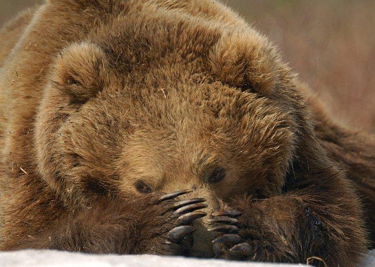 Но сегодняшний рассказ не о самом медведе, а о его лапах… животные, звери, медведь, природа