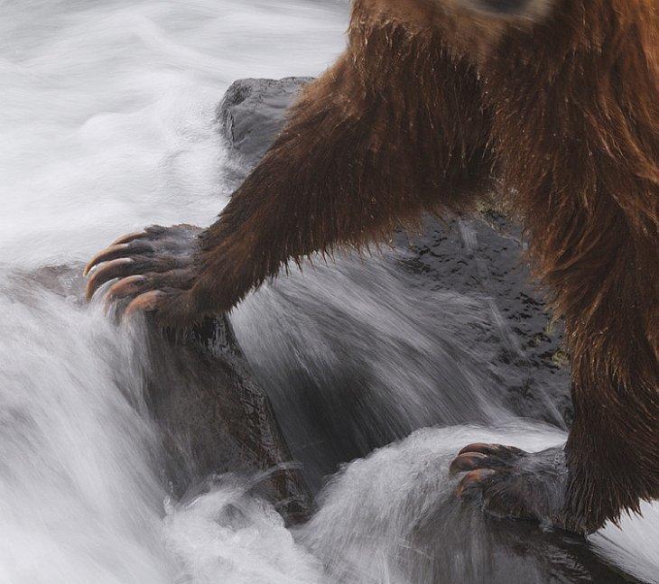 Передние лапы медведя, вооруженные мощными когтями — универсальный инструмент, которым зверь роет берлогу, раскапывает норы сурков и сусликов, переворачивает неподъемные для человека камни, ломает деревья, ловит рыбу. животные, звери, медведь, природа