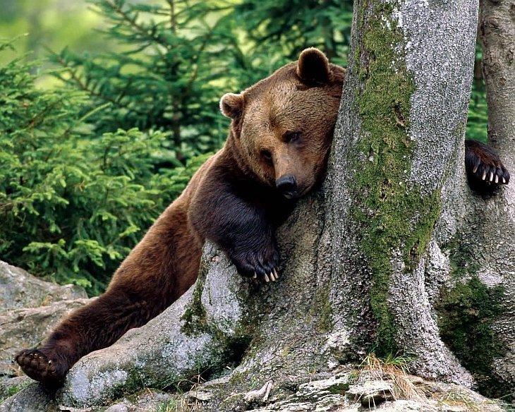 Когти — прекрасные грунтозацепы. Благодаря им, медведи легко передвигаются по крутым склонам, где человеку трудно удержаться. Сколько раз я с зависть наблюдал, как медведи легко ходят по крутым снежникам, откуда я соскальзывал. Благодаря когтям, медв животные, звери, медведь, природа