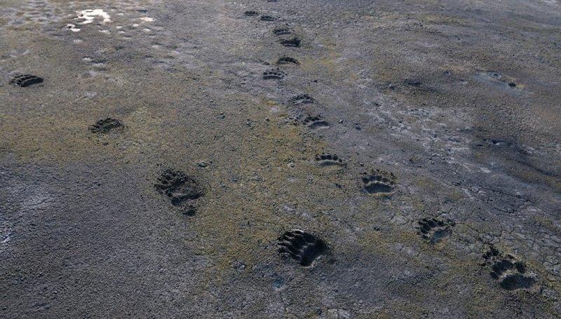 Два медведя прошли по дну недавно высохшей лужи: животные, звери, медведь, природа