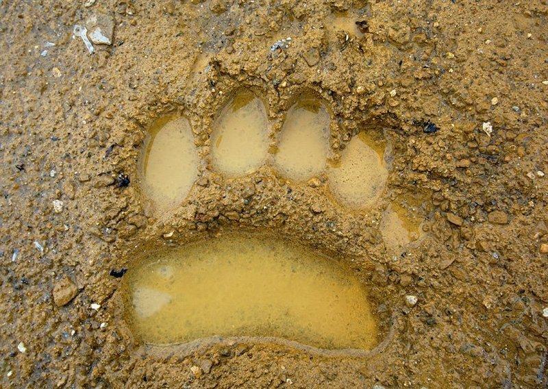 Отпечаток передней лапы на влажном грунте: животные, звери, медведь, природа