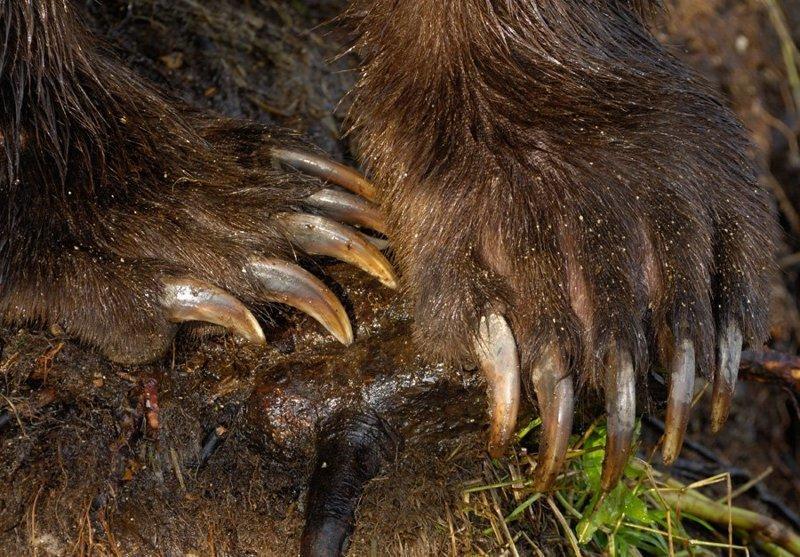 На передних лапах когти могут быть длиной более 10 см: животные, звери, медведь, природа