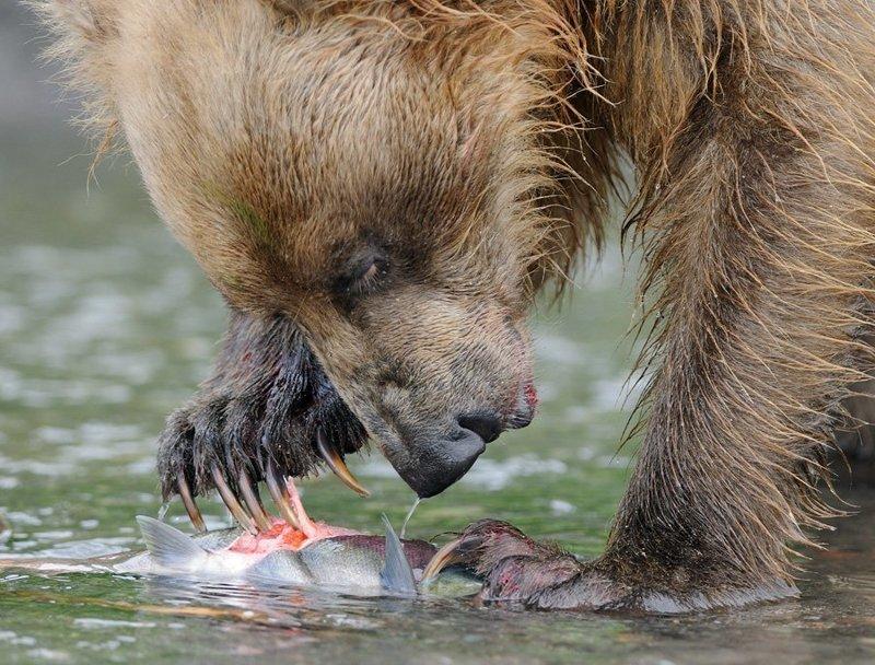 Медведи — не кошки, когти втягивать не умеют. Но владеют ими виртуозно. Я не раз видел, как с помощь когтей медведи аккуратно, словно острым рыбным ножом, вскрывали брюхо у лососей, чтобы достать икру. животные, звери, медведь, природа