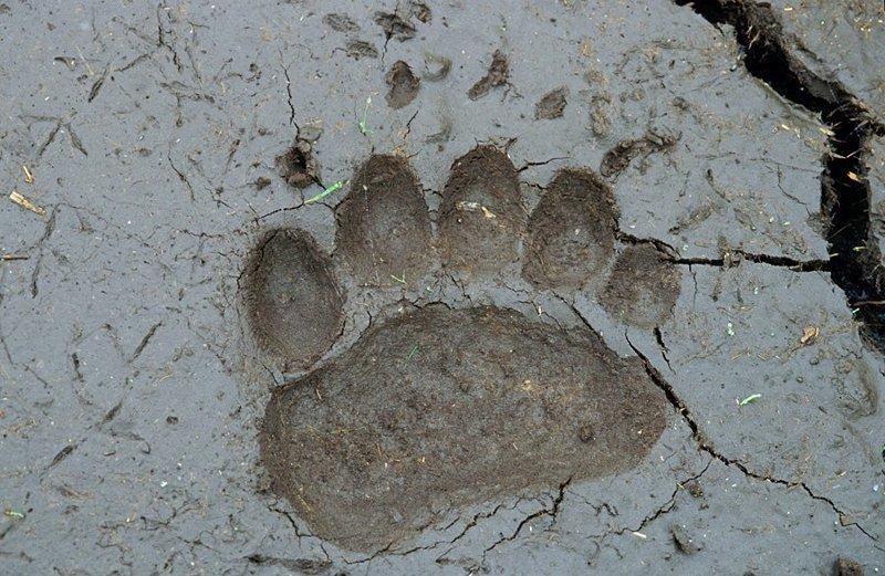 Вдруг кто не видел медвежьих следов — вот они. Это след передней лапы зверя на обсохшем иле: животные, звери, медведь, природа