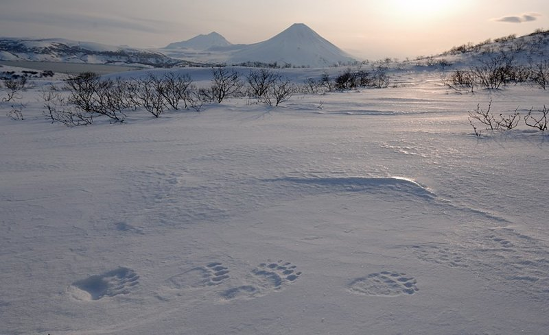 Следы на прочном весеннем насте, который легко выдерживает немалый вес зверя: животные, звери, медведь, природа