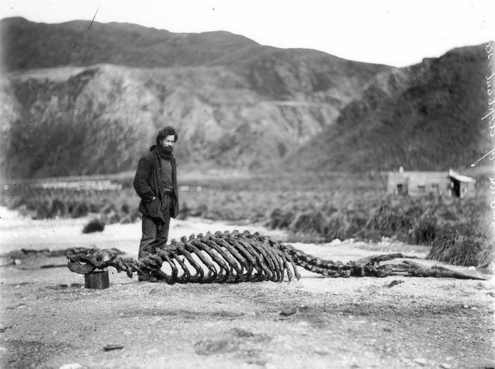 Гарольд Гамильтон возле найденного членами экспедиции скелета морского слона Дуглас Моусон, австралия, антарктида, изучение Антарктики, научная экспедиция, полярные исследователи, поход во льдах, фотосвидетельства
