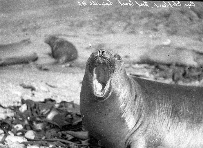 Самка морского слона на острове Маккуори Дуглас Моусон, австралия, антарктида, изучение Антарктики, научная экспедиция, полярные исследователи, поход во льдах, фотосвидетельства