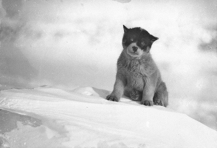 Щенок в Антарктиде Дуглас Моусон, австралия, антарктида, изучение Антарктики, научная экспедиция, полярные исследователи, поход во льдах, фотосвидетельства