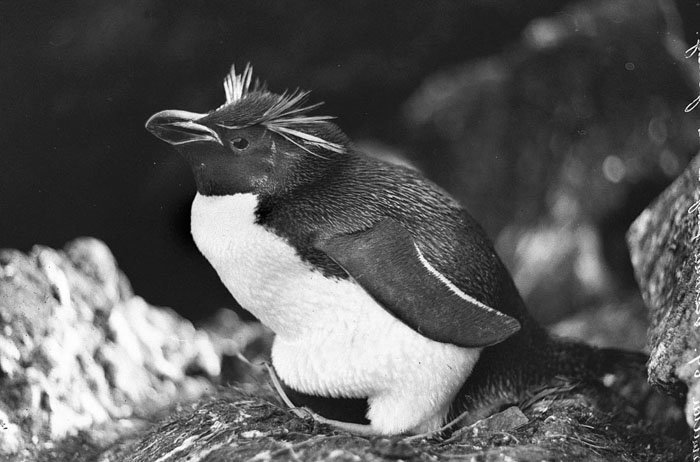 Пингвин Виктории или Толстоклювый пингвин Дуглас Моусон, австралия, антарктида, изучение Антарктики, научная экспедиция, полярные исследователи, поход во льдах, фотосвидетельства