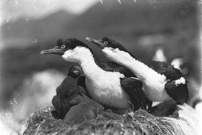 Бакланы на острове Маккуори защищают свое гнездо Дуглас Моусон, австралия, антарктида, изучение Антарктики, научная экспедиция, полярные исследователи, поход во льдах, фотосвидетельства
