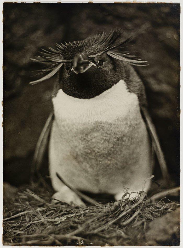Пингвин Склейтера, или Большой хохлатый пингвин Дуглас Моусон, австралия, антарктида, изучение Антарктики, научная экспедиция, полярные исследователи, поход во льдах, фотосвидетельства